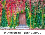 Beautiful Autumn Colored Ivy...