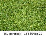 nature fresh green leaves plant ... | Shutterstock . vector #1555048622