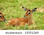 A Young Impala Baby Resting An...