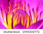 Lotus Flower Close Up Full Color
