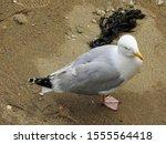 Stock photo adult european herring gull larus argentatus on a small beach in in mevagissey harbor cornwall 1555564418