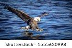 Bald Eagle Fishing Over The...