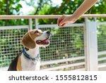 A Happy Beagle Dog Stick Out...