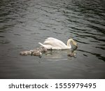 Mama White Swan And Her 7...