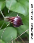 Small photo of Inflorescenses of friar's cowl (Arisarum vulgare) sprouting from the ground