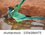 Wild Port Lincoln Parrots ...