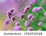 Beautiful Purple Verbena...