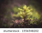 Fir Tree Sprout. New Life...