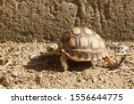 Stock photo close up african spurred tortoise resting in the garden slow life africa spurred tortoise 1556644775