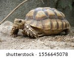 Stock photo close up african spurred tortoise resting in the garden slow life africa spurred tortoise 1556645078