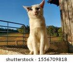 Blue The Beautiful Barn Cat