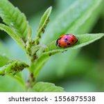 Macro Of A Ladybug  Coccinella...