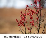 Winterberries Along The...