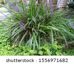 Variegated Liriope Monkey Grass ...