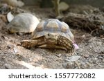 Stock photo close up african spurred tortoise resting in the garden slow life africa spurred tortoise 1557772082