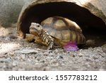 Stock photo close up african spurred tortoise resting in the garden slow life africa spurred tortoise 1557783212