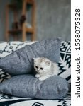Stock photo  a small gray and white kitten is stuck and lies in gray pillows on a sofa with a black and white 1558075328