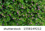 Chupea hyssopifolia, the false heather, mexican heather, hawaian heather or elfin herb. is a small evergreen shurb. Selective focus.