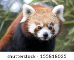 Portrait Of A Red Panda In A...