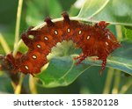 The large, polymorphic Imperial Moth caterpillar comes in colors of green, brown, red, or orange in a single brood