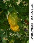 Small photo of Bitter gourd Momordica charantia Balsam apple, Balsam pear