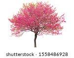 Purple Cherry Tree Isolated On...