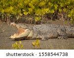 Saltwater Crocodile  Crocodilus ...