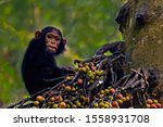 Chimpanzee In Kibale Rainfores...