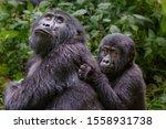 Female Mountain Gorilla With...