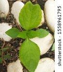Poison Ivy  Toxicodendron...