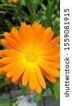 Marigolds  Flowers That Bloom...