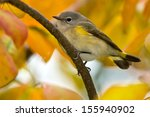 Small photo of Female American redstart perched on a branch.