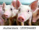 Pig Farm Industry Farming Hog...