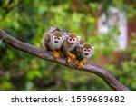 Three Common Squirrel Monkeys...