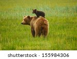 coastal brown bears | Shutterstock . vector #155984306