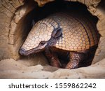 Portrait Of A Hairy Armadillo...
