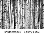 Trunks Of Birch Trees In Black...