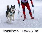 Sled Dog Skijoring. Husky Sled...