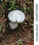 Clitocybe Odora  Known As...