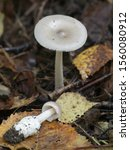Small photo of Amanita vaginata, known as the grisette, an edible wild mushroom from Finland
