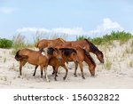 A Group Of Wild Ponies  Horses...
