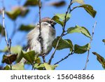 photo of a sparrow on a branch | Shutterstock . vector #156048866