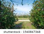 apples growing on a tree. apple ...   Shutterstock . vector #1560867368