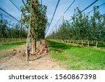apples growing on a tree. apple ...   Shutterstock . vector #1560867398