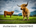 Highland Cows In The Glencoe...