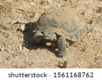 Stock photo a desert tortoise making her way across the desert sands of the mojave california 1561168762