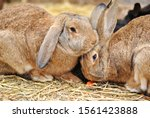 Small photo of Two brown cute bunnies rabbits sitting close to each other One rabbit eats carrot and other hugs bunny. Little pets together touch, cuddle and huddle. Love, proximity, propinquity, nearness, closeness