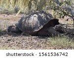 Stock photo galapagos giant tortoise in the wild on santa fe island 1561536742