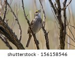 Small photo of Seaside Sparrow, Ammodramus maritimus