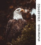 Bald Eagle Perched On Branch...